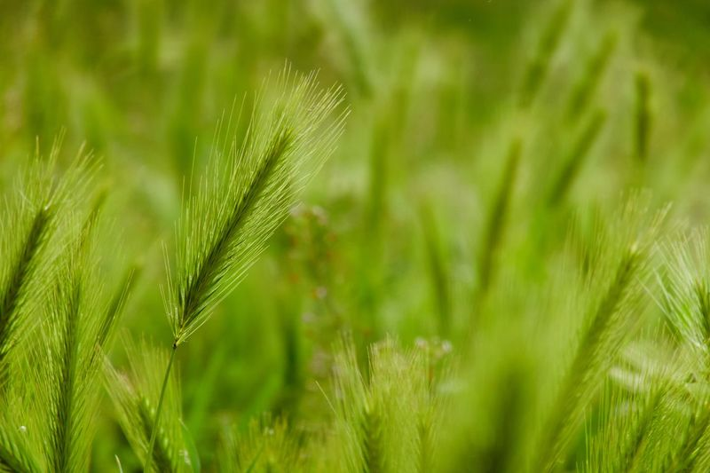 Plant Green Color Growth Beauty In Nature Nature Close-up Land Selective Focus Cereal Plant Freshness Grass Day Crop  Focus On Foreground Field No People Tranquility Agriculture Outdoors Leaf