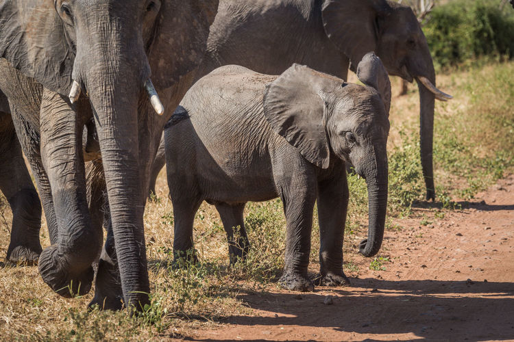 African elephant family walking in forest