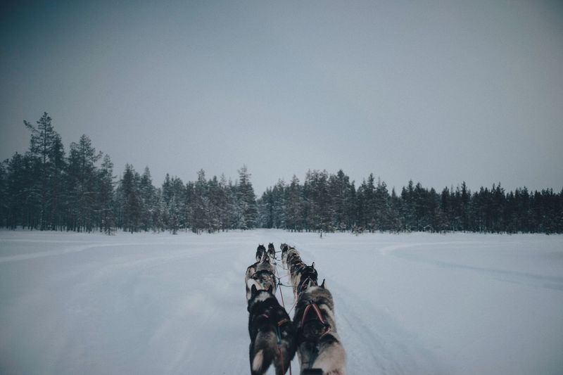 Dogs on snow covered landscape against clear sky