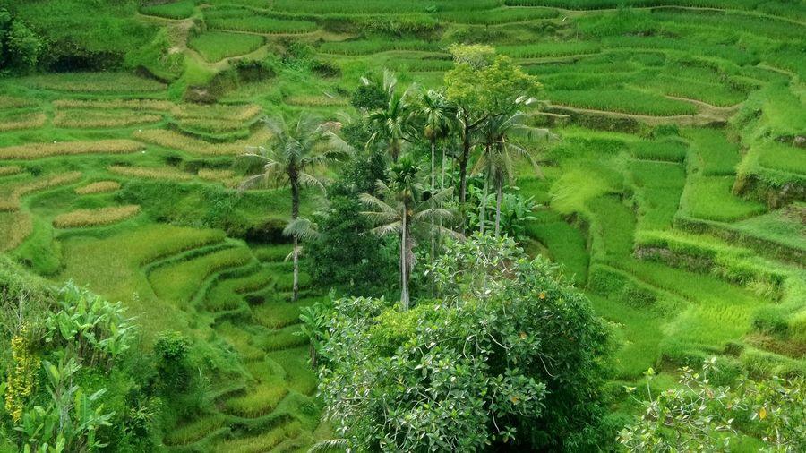 Hidden ricefields in Bali Bali Green Ricefields Jeanmart Joseph Jeanmart Verybalitrip Bali, Indonesia