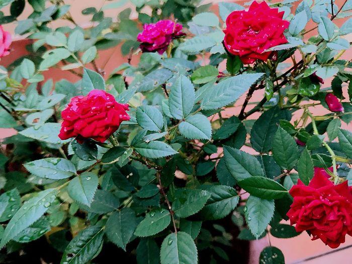 Rose Rosse Photo Zeiss Rose - Flower Fiori Nature