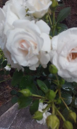 Beauty In Nature Close-up Day Ellegance Ellegant Beauty Flower Flower Head Fragance Fragility Freshness Growth Nature No People Outdoors Petal Plant Rose - Flower Sophistication Spring Roses Tenderness And Warmth... White Color White Roses