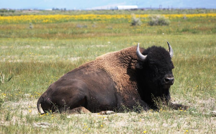 Bison Bison Herd Colorado Nature USA Animal Themes Day Grass Wildlife This Is Masculinity