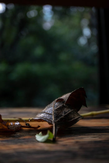 Close-up of dry leaf on wooden table