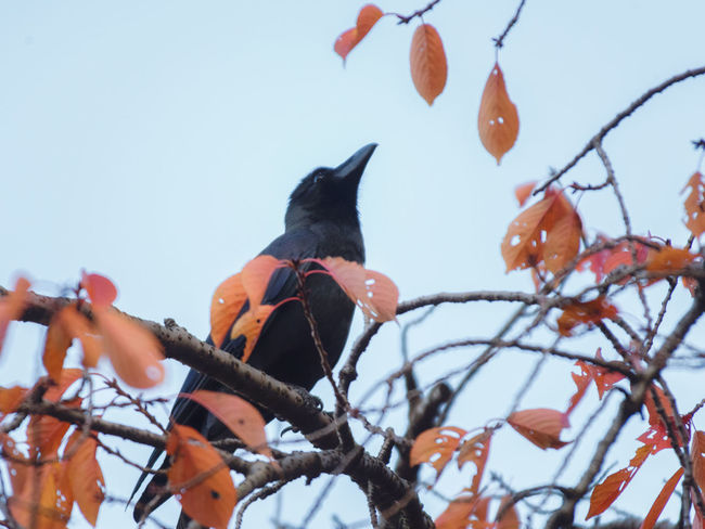 Crow in Tokyo, Autumn. 2018 Autumn Japan Raven Tokyo Animal Themes Animal Wildlife Animals In The Wild Bare Tree Bird Black Branch Clear Sky Crow Day Low Angle View Nature No People One Animal Orange Color Outdoors Perching Sky Tree カラス 烏
