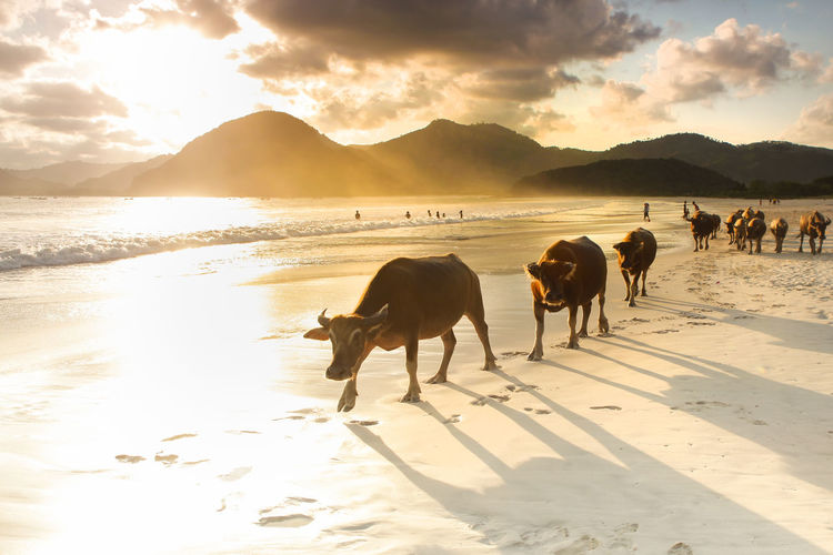 Cows on beach against sky during sunset