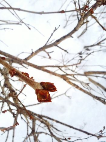 Branch with bourgeon Tree Branch Bourgeons Winter Snow Nature Cold Garden