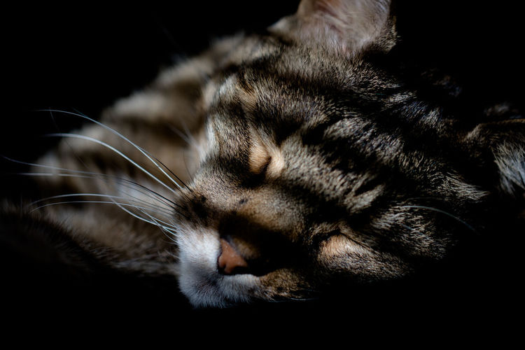 Animal Love Black Background Cats Of EyeEm EyeEmNewHere Pet Photography  Shadow And Light Shadowplay Whiskers Animal Animal Head  Animal Photography Cat Cats Close-up Domestic Domestic Cat Feline Fur Indoor Photography Indoors  Pet Portrait Pets Shadow Sleeping Sleeping Cat