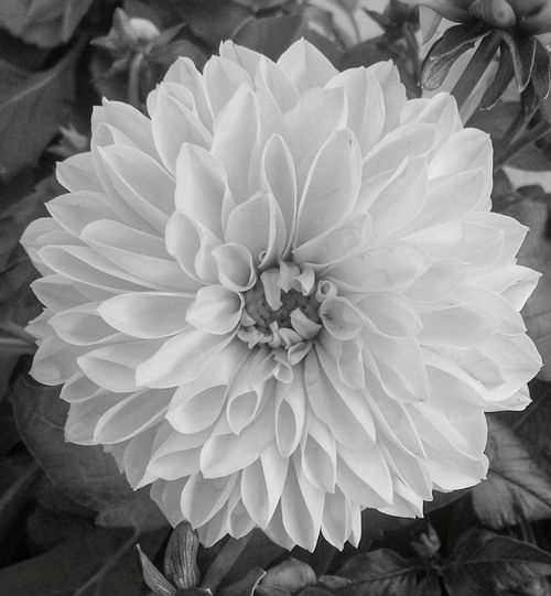A Black And White Close—up of a Flower. Featuring Flower Head Petal Beauty In Nature Plant Nature Fragility Growth Close-up Focus On Foreground Outdoors No People Day Freshness Blooming Beauty In Nature Background Growth Nature Leaf Plant Flowers Foliage