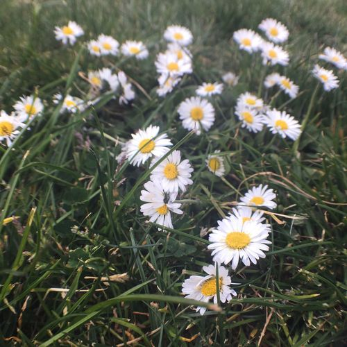 EyeEm Nature Lover Flower Nature Plant Daisy Flower Head Green Color Beauty In Nature Grass Outdoors