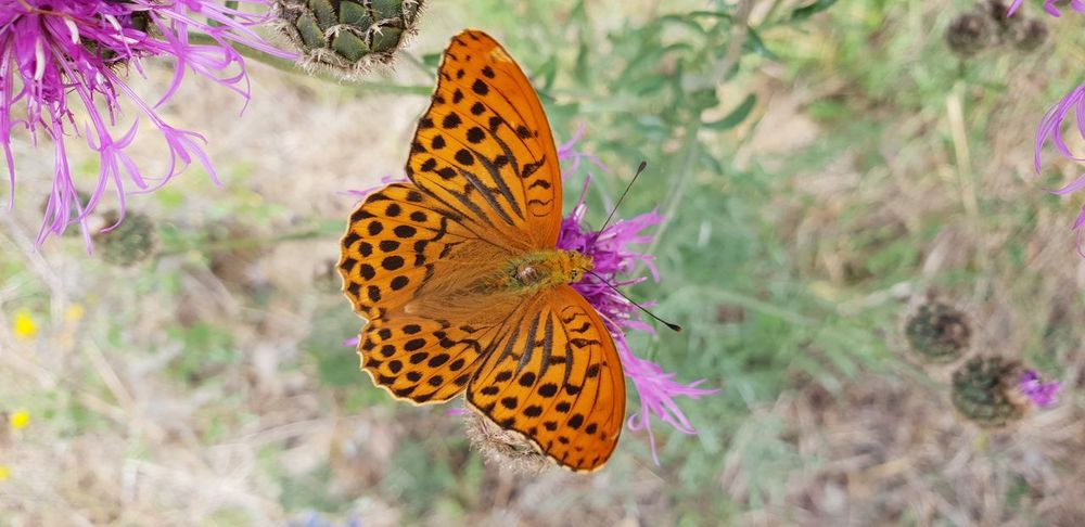 Flower Spread Wings Perching Multi Colored Leopard Butterfly - Insect Insect Animal Markings Flower Head Butterfly