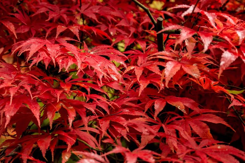 Full frame shot of red leaves