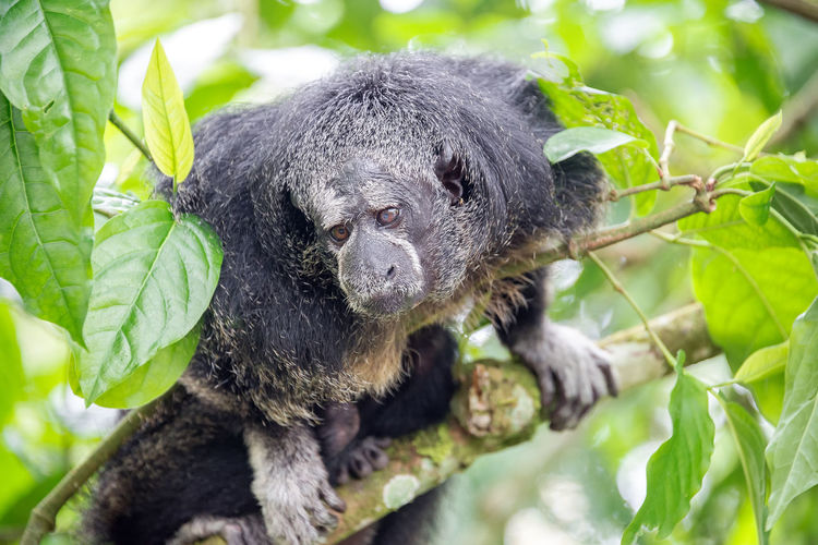 Monk Saki monkey in a tree in the Amazon Rainforest near Iquitos, Peru Amazon America Animal Brazil City Color Day Endangered  Forest Iquitos  Jungle Mammal Millers Monk  Monkey Outdoors Peru Primate Rain Rainforest Rare Saki South Tree Wildlife