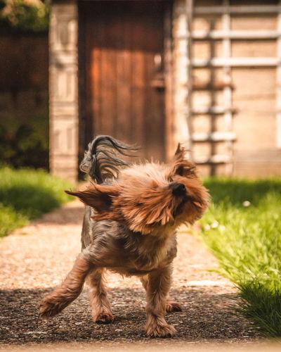 Brown dog walking on grass