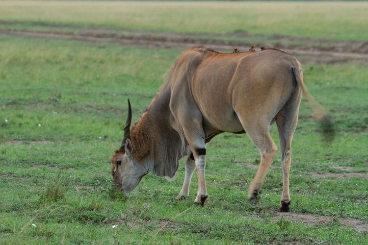 Eland - the largest antelope in the world grazing in a field