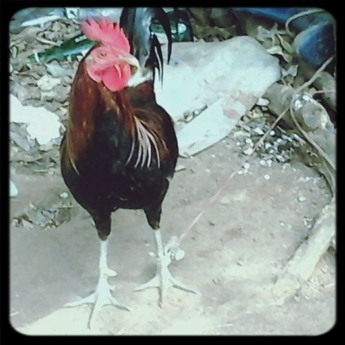 A fighting cock.