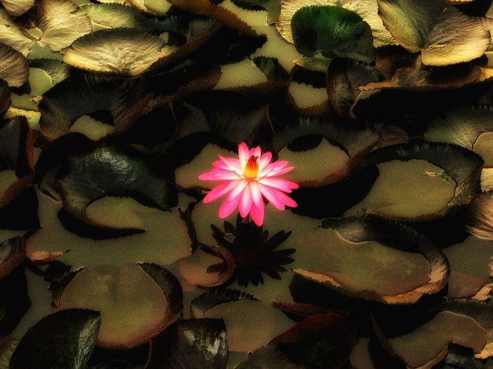 Loto flowers Lotoflower Flor Flor De Loto Momento De Ocio Ganjareta