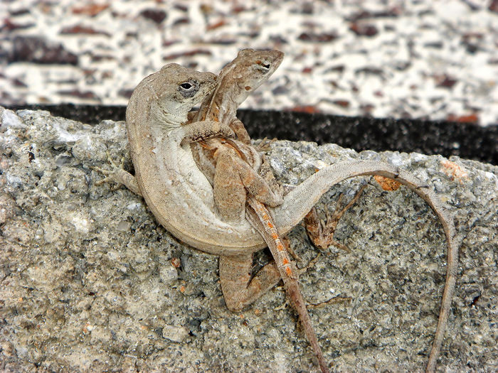 mating Lizards Couple Courtship Cuba Hug Lizard Lizards Mating Animal Themes Animal Wildlife Animals In The Wild Anolis Caribbean Cayo Largo Copulate Geckos Iguanas Mating Season Nature Offspring Outdoors Pair Pairing Reptiles Vertebrates Wildlife