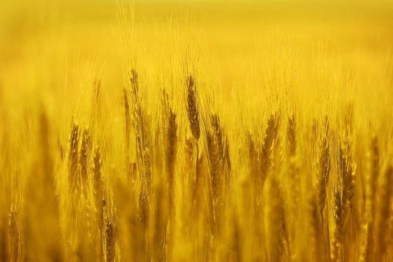 August Rye Field Closeup Photo Agriculture Backgrounds Beauty In Nature Cereal Plant Close-up Crop  Day Ear Of Wheat Farm Field Food Freshness Growth Landscape Nature No People Outdoors Plant Rural Scene Rye - Grain Scenics Seed Summer Wheat Yellow