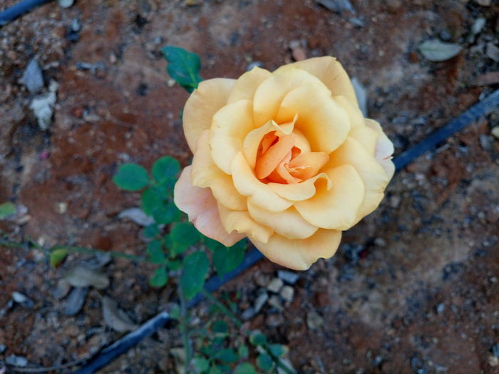 Mild orange rose Flower Petal Rose - Flower No People Nature Flower Head Close-up Fragility Beauty In Nature Plant Freshness Day Indoors  Flower Collection Eye Em Nature Lover Xperian Photography Sony Xperia Sony Xperia M5 Freshness Beauty In Nature Nature Flowerporn Flower Collection Rose Collection
