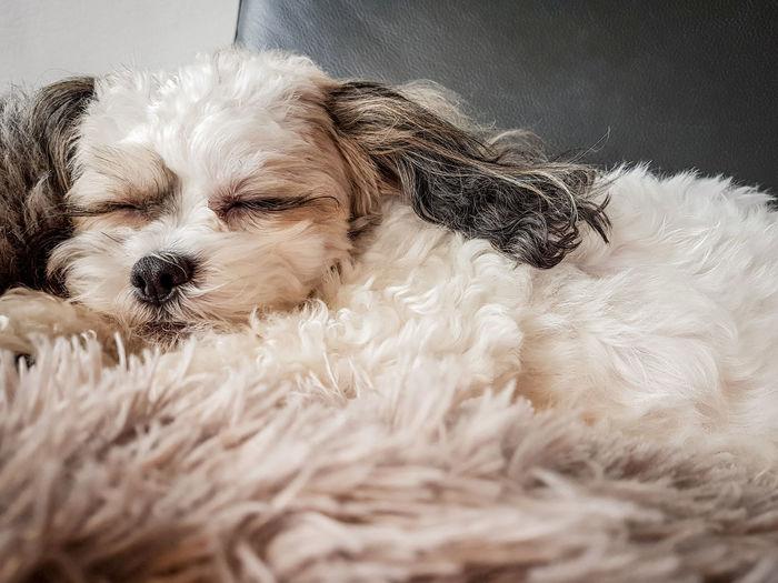Close-Up Of Dog Lying On Rug