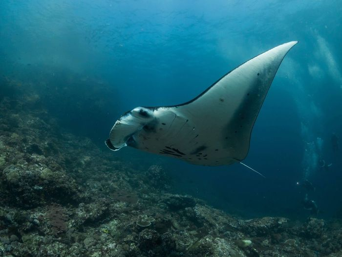 Manta ray Blue Wildlife Wild Reef Coral Deep Plankton Ocean Sea Manta Ray Underwater Sea Animals In The Wild Animal Wildlife Animal Themes Water Animal Fish Vertebrate UnderSea Swimming Nature Marine First Eyeem Photo