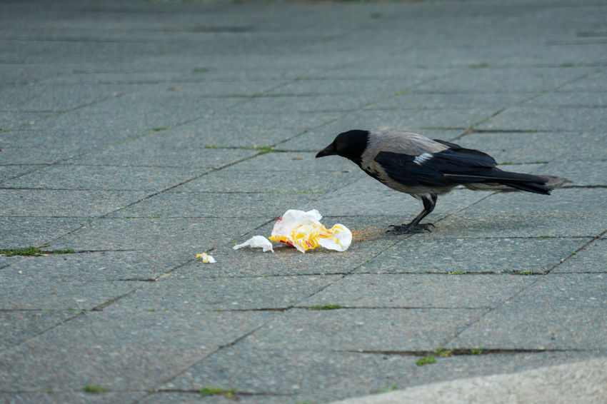 Crow eating fast food in Berlin, Germany Animal Animal Themes Animal Wildlife Animals In The Wild Bird City Crow Day Eating Fastfood Flower Flowering Plant Food Footpath High Angle View Nature No People One Animal Outdoors Paving Stone Plant Street Streetfood Vertebrate