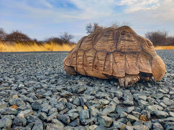 tortoice in the