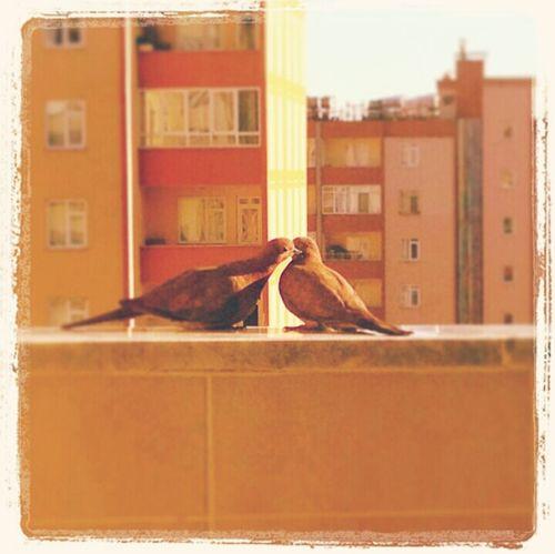 Love Birds Sevmek Kuslar Ask..