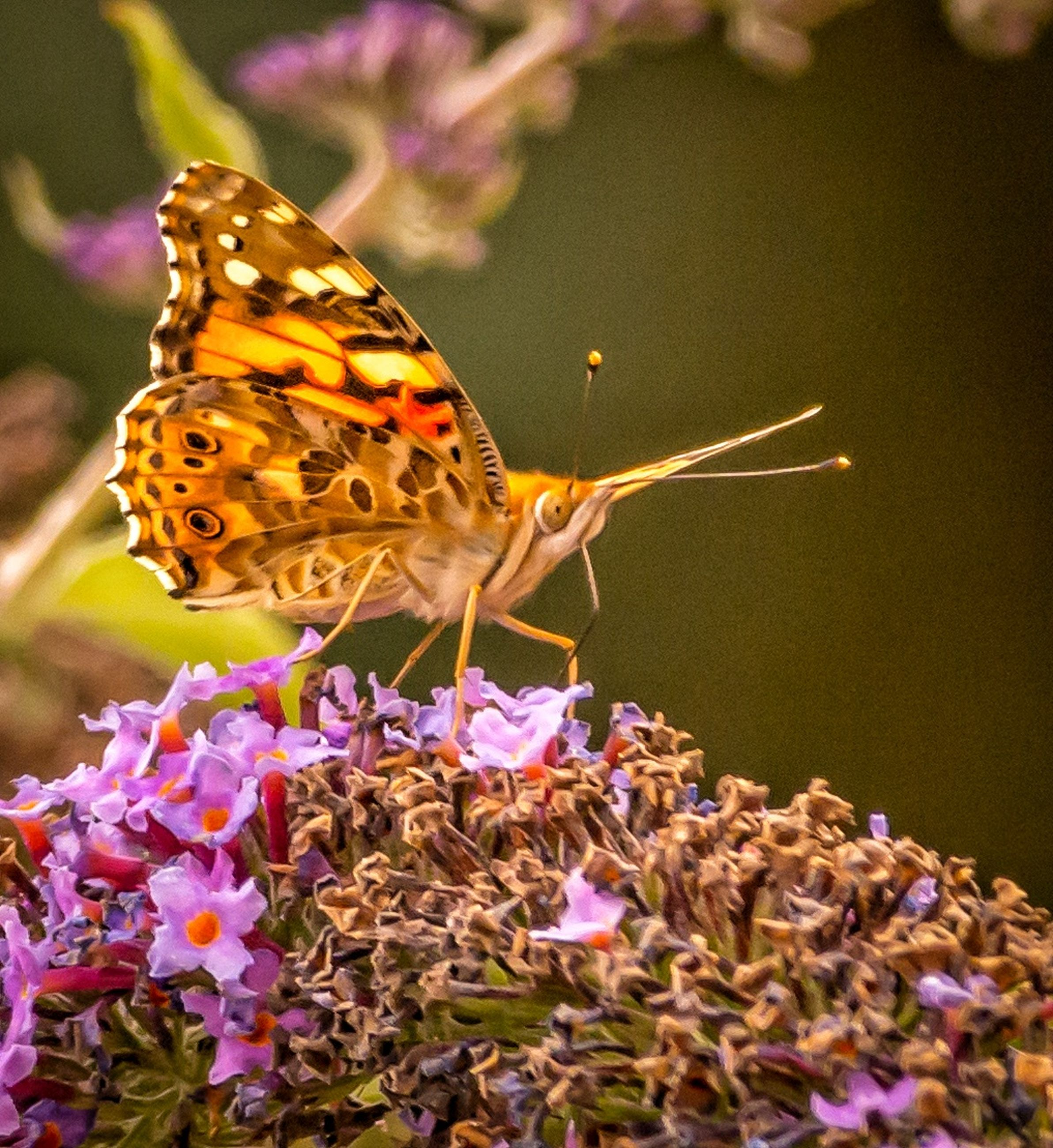 flower, animals in the wild, one animal, animal themes, animal, animal wildlife, invertebrate, insect, beauty in nature, flowering plant, animal wing, butterfly - insect, plant, petal, close-up, fragility, freshness, nature, vulnerability, pollination, flower head, no people, outdoors, purple, butterfly