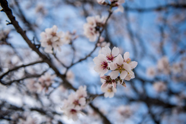 Flowering Plant Plant Flower Freshness Fragility Tree Blossom Cherry Blossom Growth Branch Nature Springtime Cherry Tree No People Outdoors Almond Tree Almond Blossom Blooming Beauty In Nature Vulnerability  Close-up Focus On Foreground Day Twig White Color Fruit Tree Flower Head Pollen
