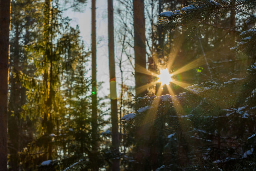 Sun shining through the trees in the coniferous forest. Beauty In Nature Close-up Cold Temperature Day Forest Lens Flare Nature No People Outdoors Scenics Snow Sun Sunbeam Sunlight Tree Winter
