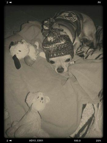 Chihuahua Puppy Mybaby Modelpuppy