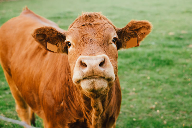Limousin cow looking at the camera