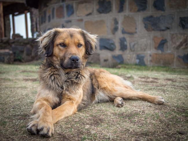 Dog Calm Beautiful Animal Domestic Animals Pet Portrait Majestic