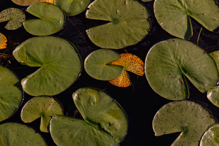 High angle view of lily leaves in pond