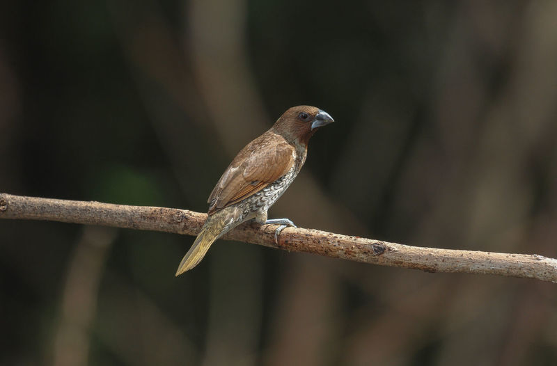Scaly-breasted Munia; Lonchura punctulata Animal Wildlife Animal Themes Animals In The Wild Animal Vertebrate Bird One Animal Perching Branch Tree Plant Focus On Foreground No People Nature Day Close-up Twig Outdoors Selective Focus Looking Away Water Nature Park Wings