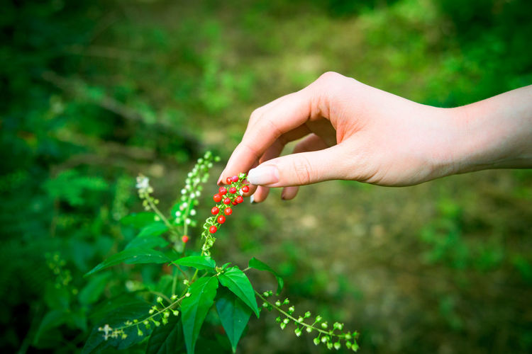 Cropped image of woman hand plucking berries outdoors