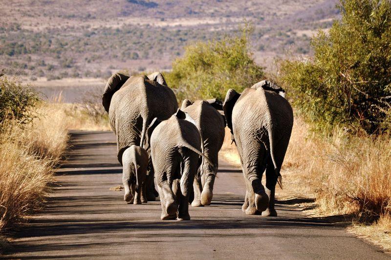 Rear view of elephants walking on road