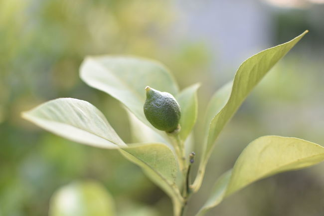 Baby Lemons Beauty In Nature Botany Bud Close-up Fragility Freshness Fruit Green Green Growing Growth In Bloom Leaf Lemon Lemon Tree Nature Nature Photography New Life Plant Purist No Edit No Filter Selective Focus Stem