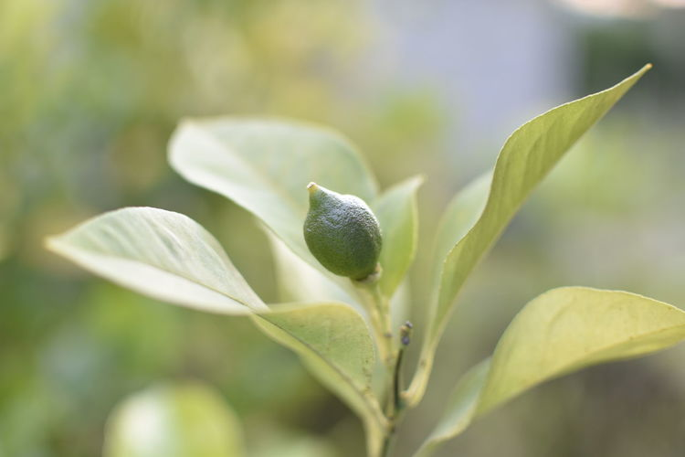 Close-up of green flower bud