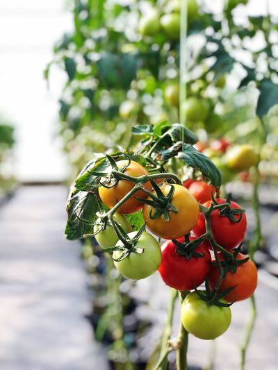 Tomato domates Pomodoro Vegetable Tomato Chef Life Focus On Foreground Fruit Food Plant Food And Drink Growth Healthy Eating