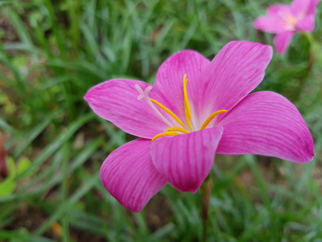 Close up lily flower. Fresh Growth Lily Flower Botany Flower Head Flower Pink Color Petal Day Lily Close-up Plant Blooming Plant Life