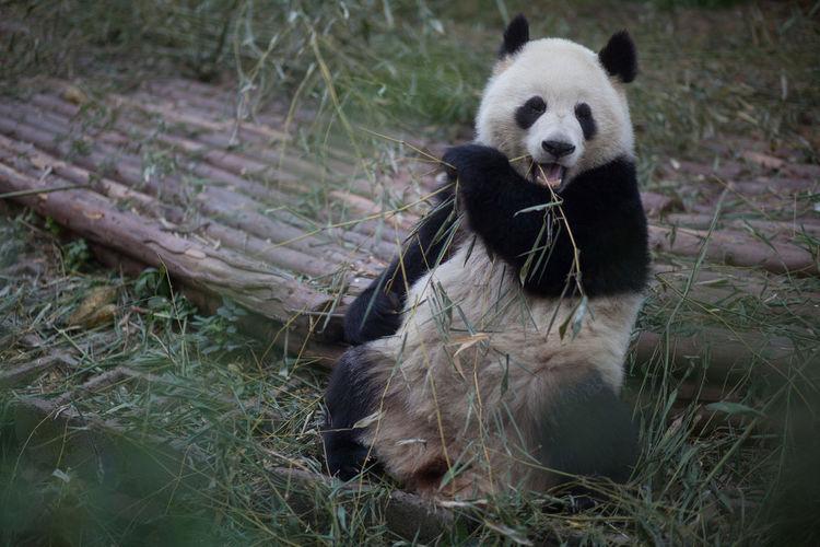 View of a panda relaxing outdoors