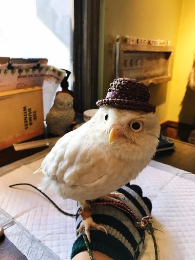 フクロウ ふくろうカフェ 高田馬場 日本 Japan Owl Bird Domestic Animals Animal Themes Chicken - Bird Indoors  Livestock No People One Animal Day Close-up Mammal