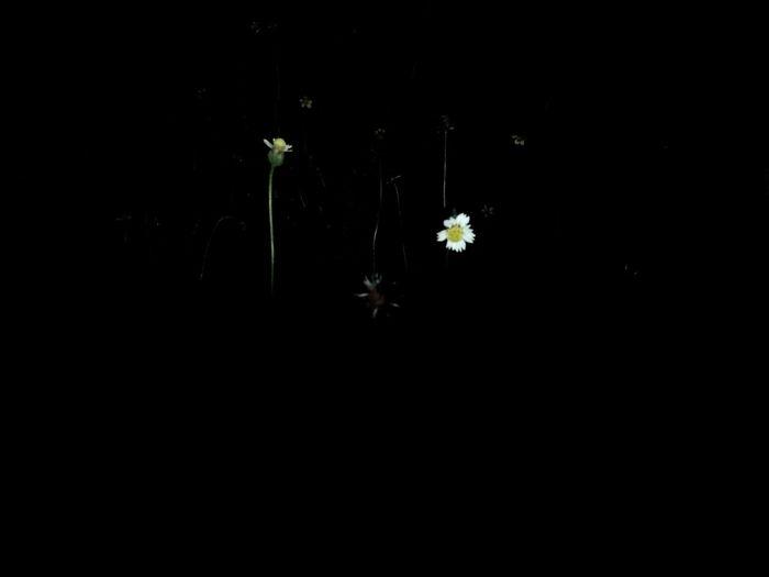 Midnight beauty. Nightphotography Nightshot Nightflower Flowersatnight Flower Head Flower Black Background Petal Close-up Plant Life Stem Young Plant Stalk