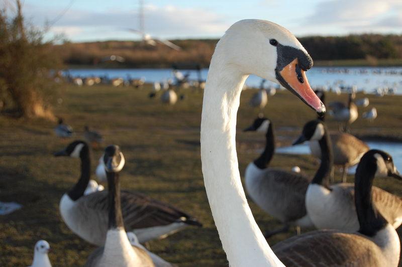 Swan... Bird