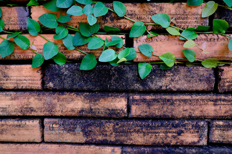 Close-Up Of Creeper Plant Growing On Wooden Wall