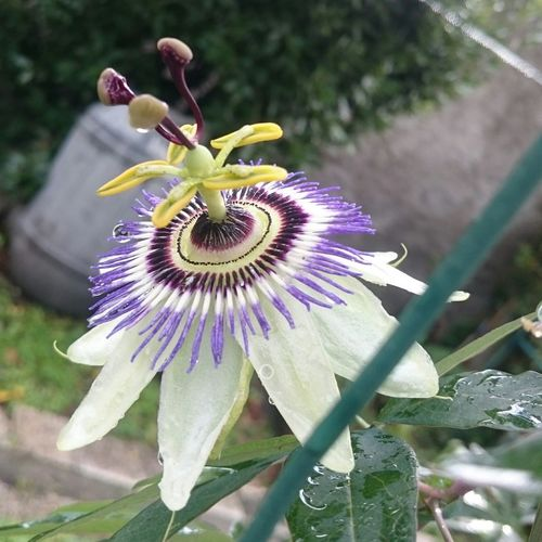 Passionfruitflowers