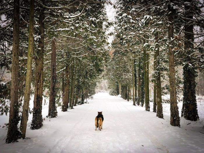 German shepherd walking alone on a snowy road surrounded by evergreen trees covered in snow